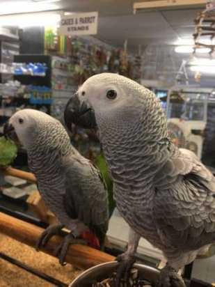 African Grey Parrots for Sale in Danville California petworldglobal.com
