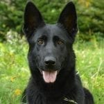 Apollo vom Schloß Solitude daughter for Sale in Slovakia - BIG BLACK GSD petworldglobal.com