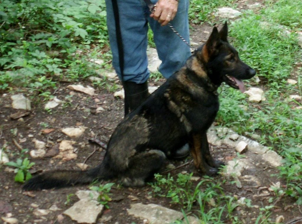 BLACK SABLE DDR & CZECH WORKING LINE GERMAN SHEPHERD FEMALE IN KY petworldglobal.com