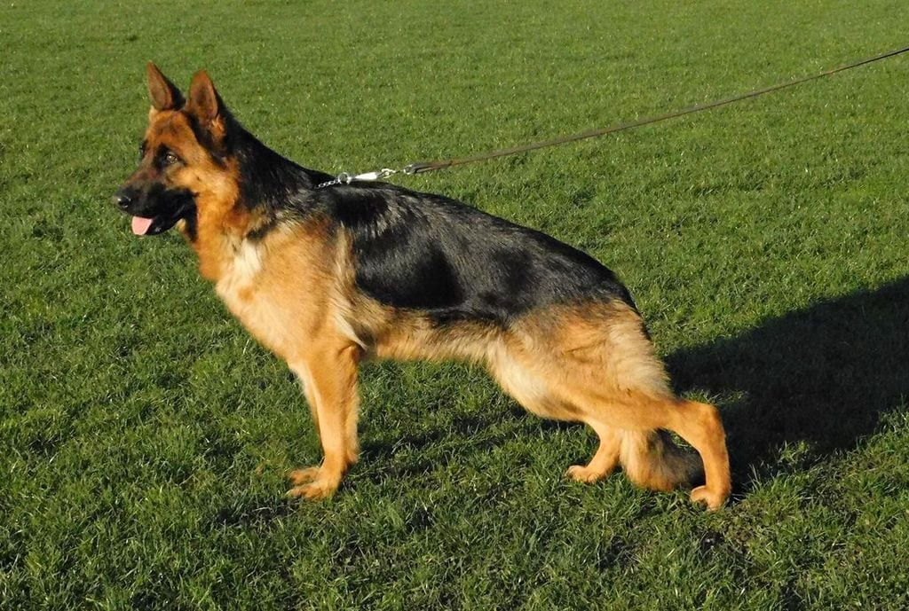 Confirmed Pregnant (8 Puppies) German Shepherd Female for Sale petworldglobal.com