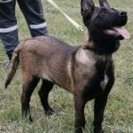Dark Belgian Malinois Female for Sale in Netherlands petworldglobal.com