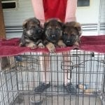 East German DDR Puppies for Sale in Texas petworldglobal.com