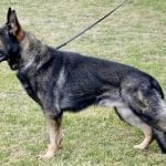 German Shepherd for Stud in Texas Old Czech Pedigree petworldglobal.com