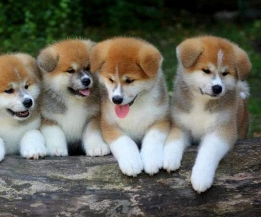 Japanese Akita Inu Puppies for Sale petworldglobal.com