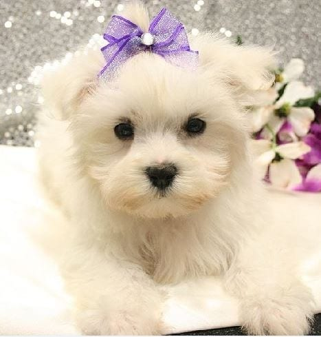 Maltese Puppies for Sale in New Jersey petworldglobal.com