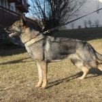 Pike del Lupo Nero daughter for Sale in Slovakia petworldglobal.com