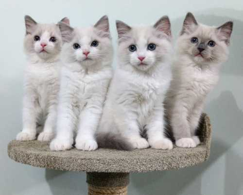 Ragdoll Kittens for Sale in Los Angeles California petworldglobal.com