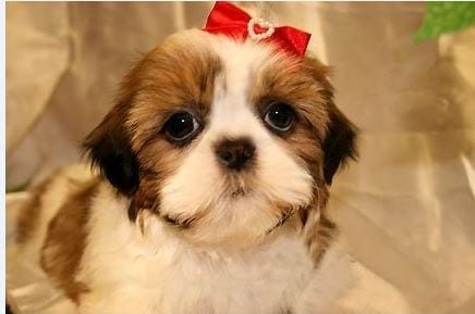SHIH-TZU PUPPIES for Sale in New Jersey petworldglobal.com