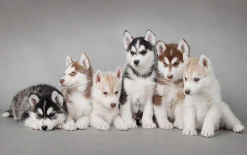 Siberian Husky Puppies in San Jose, California petworldglobal.com