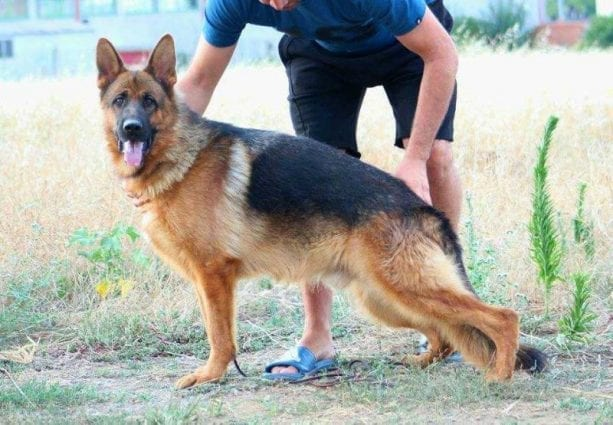 Stunning Titled Male GSD Priced to Sell - La Grange MO USA petworldglobal.com