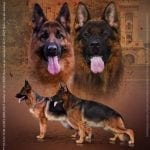 TOP German Shepherd Puppies for Sale petworldglobal.com