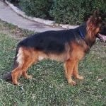 TOP Quality Long Coat German Shepherd for Sale in Dallas Texas petworldglobal.com