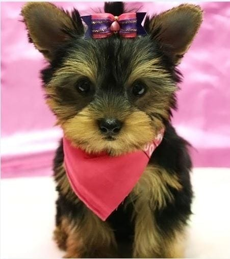 TEACUP YORKIE PUPPIES for Sale in New Jersey petworldglobal.com