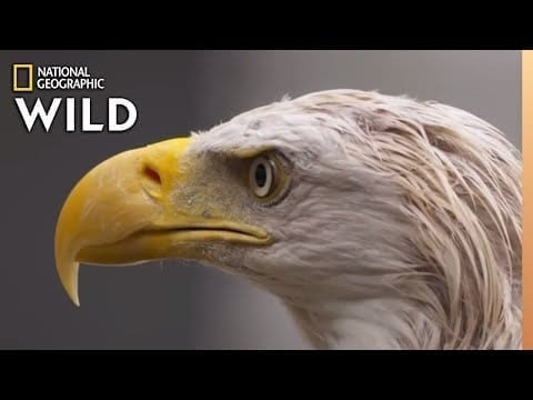 A Bald Eagle's Road to Recovery | Alaska Animal Rescue petworldglobal.com