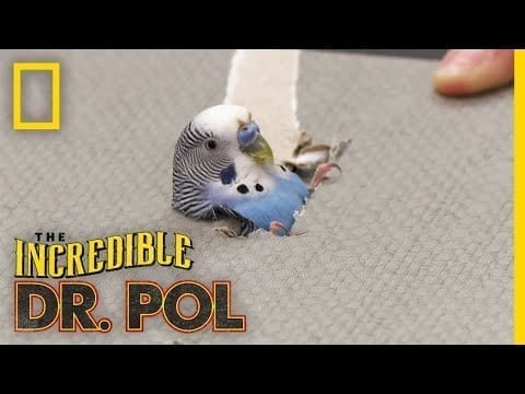 A Parakeet's Leg in Need | The Incredible Dr. Pol petworldglobal.com