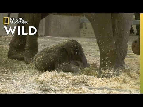 Baby Elephant Meets Her Aunts | Babies of the Zoo petworldglobal.com