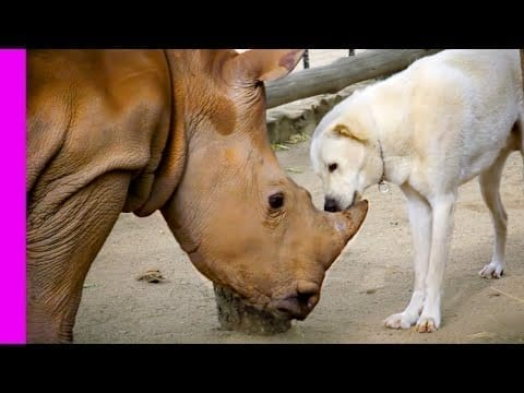 Baby Rhino Is Best Friends With Dog And Lamb | Oddest Animal Friendship | Love Nature petworldglobal.com