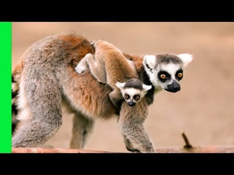 Battle-Shy Lemur Queen Fights with Baby on Her Back | Love Nature petworldglobal.com