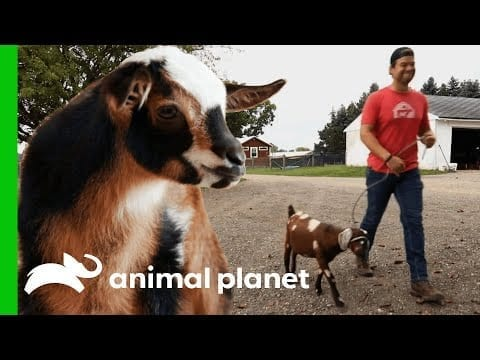 Blind Goat Is Perfect Roommate For Plucky Kid In Recovery | Saved By The Barn petworldglobal.com
