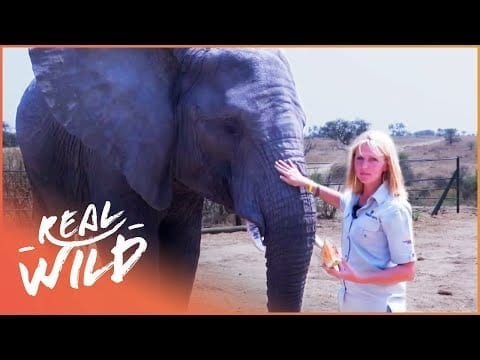 Calming A Fully Grown Elephant For Deworming | Lodging With Lions S1 EP4 | Real Wild petworldglobal.com