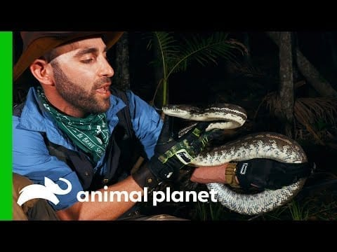 Coyote Is Bitten By A Python While Looking For Eels | Coyote Peterson: Brave The Wild petworldglobal.com