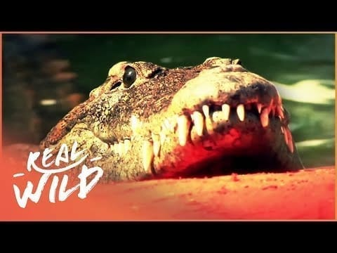 Crocodiles: The Oldest Living Reptiles | Wild About S1 EP8 | Real Wild petworldglobal.com