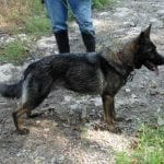 Czech Working Line German Shepherd for Sale IN KENTUCKY German Shepherd Breeders in Kentucky