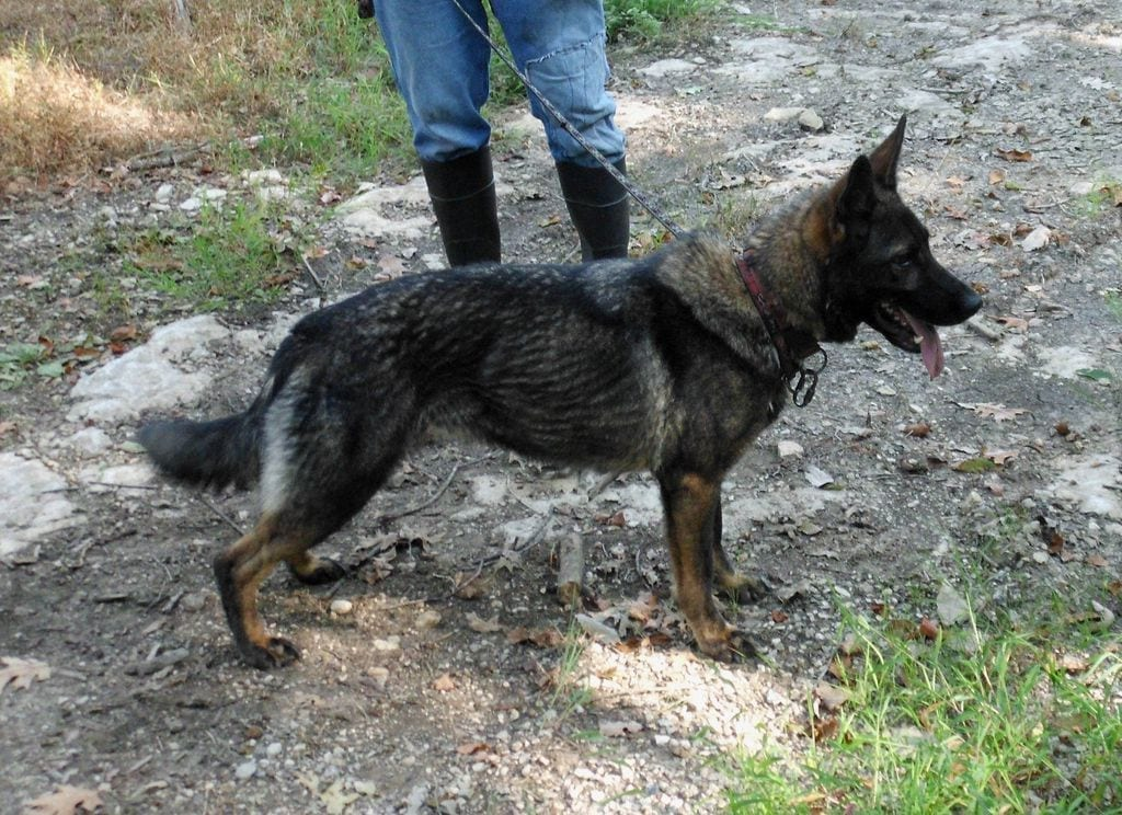 Czech Working Line German Shepherd for Sale - IN KENTUCKY petworldglobal.com