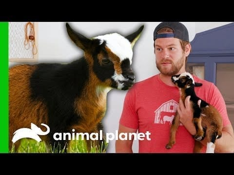 Dan Breaks Protocol To Save An Injured Baby Goat | Saved By The barn petworldglobal.com