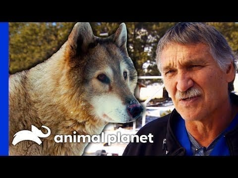 Dr. Jeff Operates On Three Rescued Wolves | Dr. Jeff: Rocky Mountain Vet petworldglobal.com