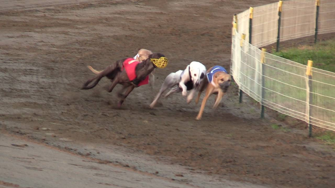 FCI Racing World Championship 2016 Whippet Males petworldglobal.com