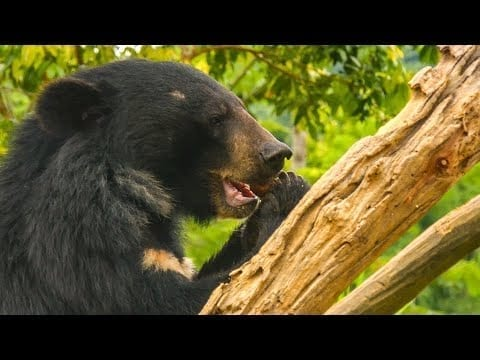 Feeding 39 Hungry Moon Bears Takes A Military-Style Mission! | BBC Earth petworldglobal.com