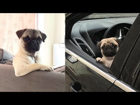 Funniest and Cutest Pug Dog Videos Compilation 2020 - Cutest Puppy #5 petworldglobal.com