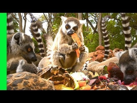 Funny Ring-tailed Lemurs and Tortoises Battle for Food | Love Nature petworldglobal.com