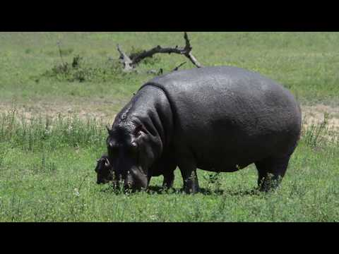Grazing Hippo and baby petworldglobal.com