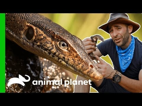 How To Catch A Monitor Lizard   Coyote Peterson: Brave The Wild petworldglobal.com
