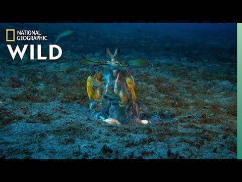 Mantis Shrimp vs Octopus | Ocean Fight Night petworldglobal.com