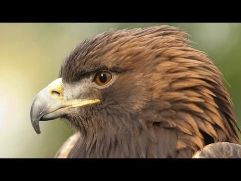 Meet Rescued Golden Eagle Deschutes petworldglobal.com