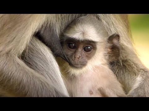 Monkey Dad SAVING His Babies | Father's Day | Love Nature petworldglobal.com