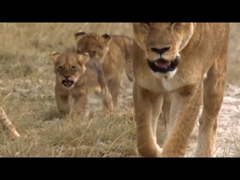 Natgeo Documentary - BIG CATS IN ACTION IN AFRICA ~~ Lions, Leopards & Cheetahs..HD.. petworldglobal.com