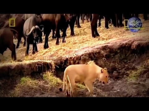 Natgeo Documentary - Lions Attacks Hippo - Lion Killing A Hippo But Lion Lost Her Teeth.. petworldglobal.com