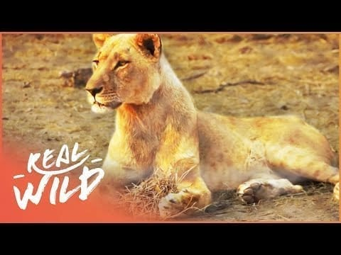 Observing African Animals From Close Range   Lodging With Lions S1 EP2   Real Wild petworldglobal.com