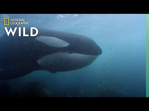 Orca Pod Hunts King Penguins | World's Deadliest Whale petworldglobal.com