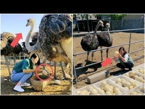 Playing and collecting ostrich eggs at a wonderful ostrich farm | Mr Lee petworldglobal.com