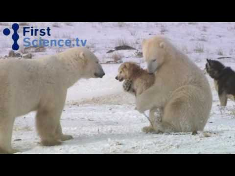 Polar Bears and Dogs Playing petworldglobal.com