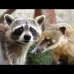 Raccoon Loves His Coati Best Friend | Oddest Animal Friendship | Love Nature petworldglobal.com