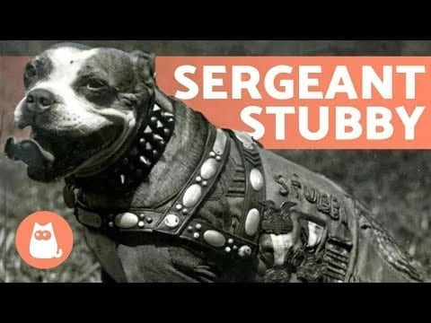 STUBBY - The DOG that Became a SERGEANT ? petworldglobal.com