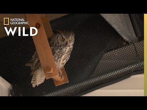 Taiger the Great Horned Owl | Alaska Animal Rescue petworldglobal.com