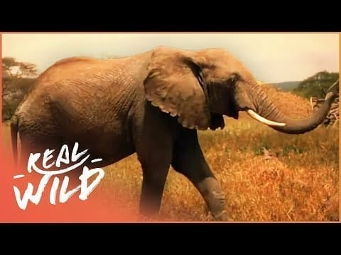 The True Lives Of Elephants | Wild About S1 EP7 | Real Wild petworldglobal.com