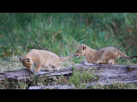 Three Cute Lion Cubs Play Together petworldglobal.com